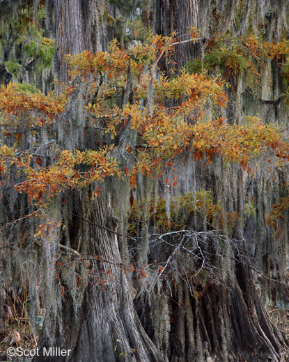 Fine photographic print of Caddo Lake by Scot Miller, at Sun to Moon Gallery, Dallas, TX – Partial sale proceeds benefit Caddo Lake Institute