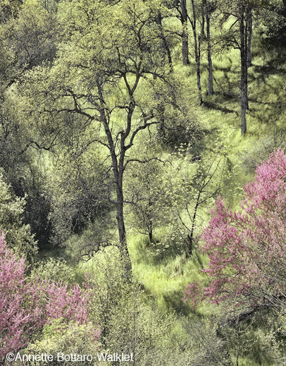 Redbuds fine print by Annette Bottaro-Walklet, at Sun to Moon Gallery, Dallas, TX